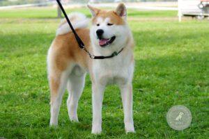 Šunų veislės: Akita