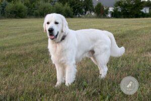 Šunų veislės: Auksaspalvis retriveris