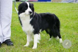 Šunų veislės: Australų aviganis