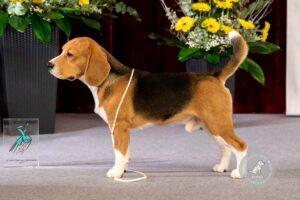 Šunų veislės: Biglis