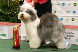 Šunų veislės: Bobteilas
