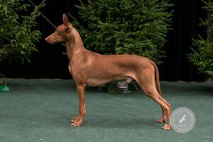 Šunų veislės: Faraonų šuo