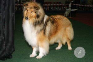 Šunų veislės: Ilgaplaukis kolis