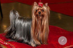 Šunų veislės: Jorkšyro terjeras