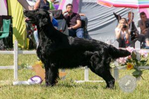 Šunų veislės: Lygiaplaukis retriveris
