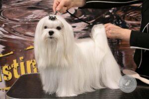 Šunų veislės: Maltos bišonas