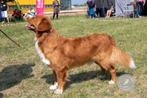 Šunų veislės: Naujosios Škotijos retriveris
