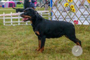 Šunų veislės: Rotveileris