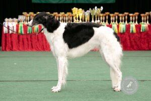 Šunų veislės: Rusų ilgaplaukis kurtas (Barzaia)