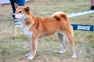 Šunų veislės: Šiba