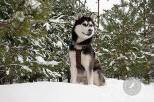 Šunų veislės: Sibiro haskis