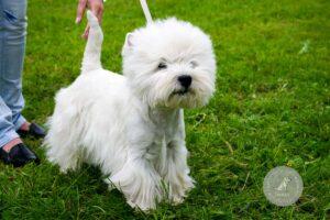 Šunų veislės: Vakarų Škotijos baltasis terjerais