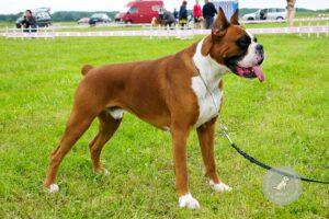 Šunų veislės: Vokiečių bokseris