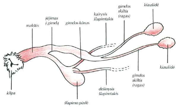 Kalės lytiniai organai