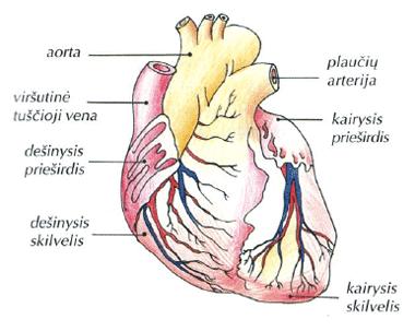 Širdis kraujotaka