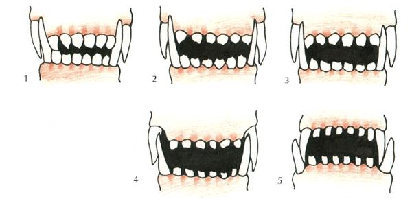 Šuns amžiaus nustatymas pagal dantis.