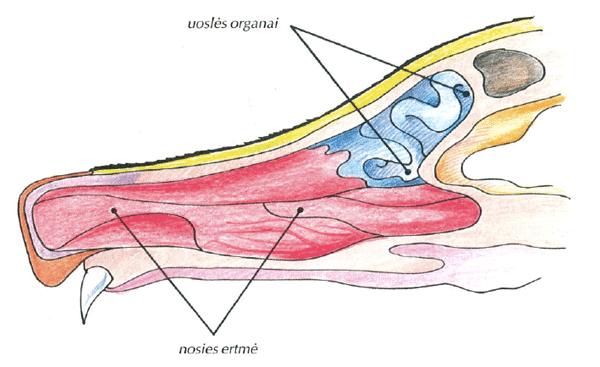 Uoslės organai
