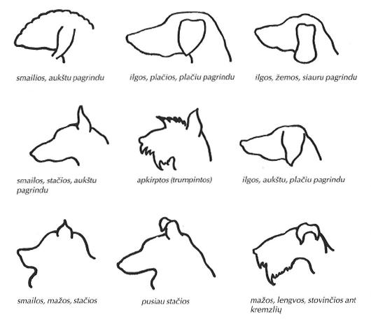 Šuns ausų formos