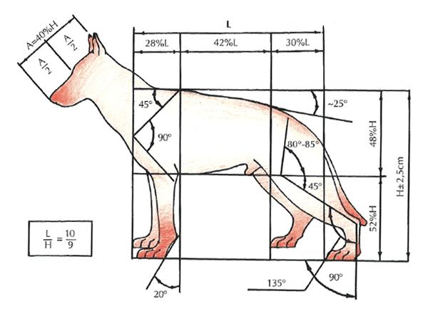 Šuns galūnių eksterjeras