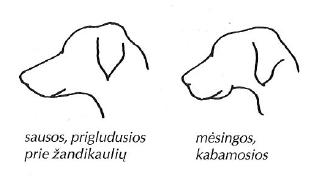 Šuns lūpos