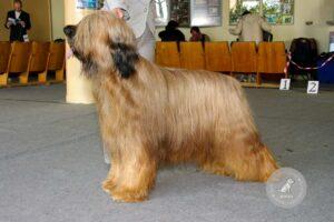 Šunų veislės: Briaras